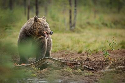 fiber-deployment_bear-attack